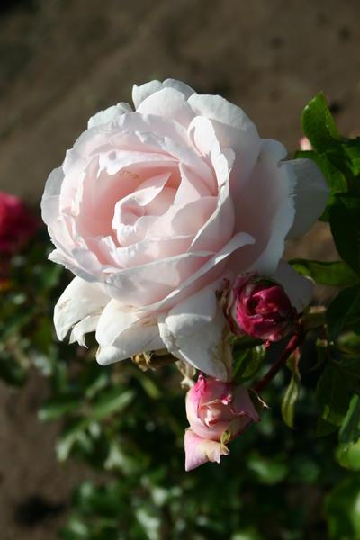 fotos der rose constanze mozart taufe der rose. Black Bedroom Furniture Sets. Home Design Ideas